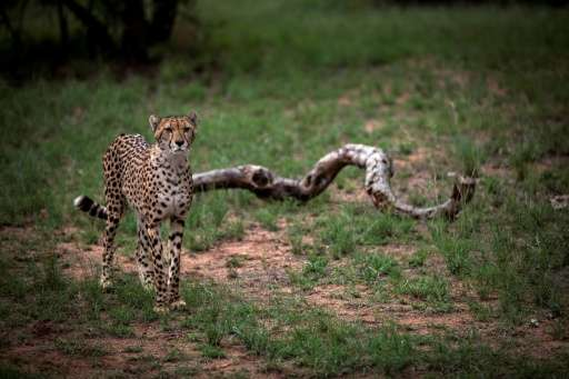 race to save the cheetah as study reveals extinction threat