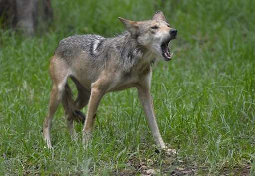 A Mexican Wolf called Pearl is seen in the Zoologico los Coyotes in Mexico City