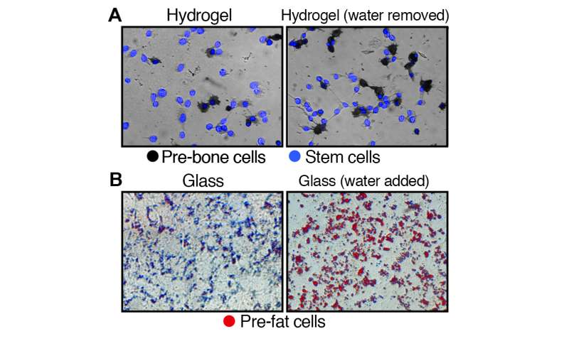 Amount of water in stem cells can determine its fate as fat or bone