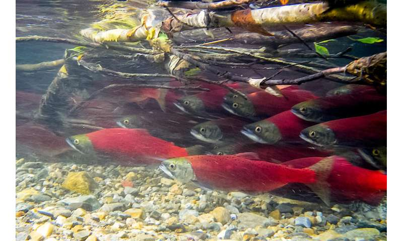 Ancient genetic markers in sockeye salmon can help manage healthier fish stocks