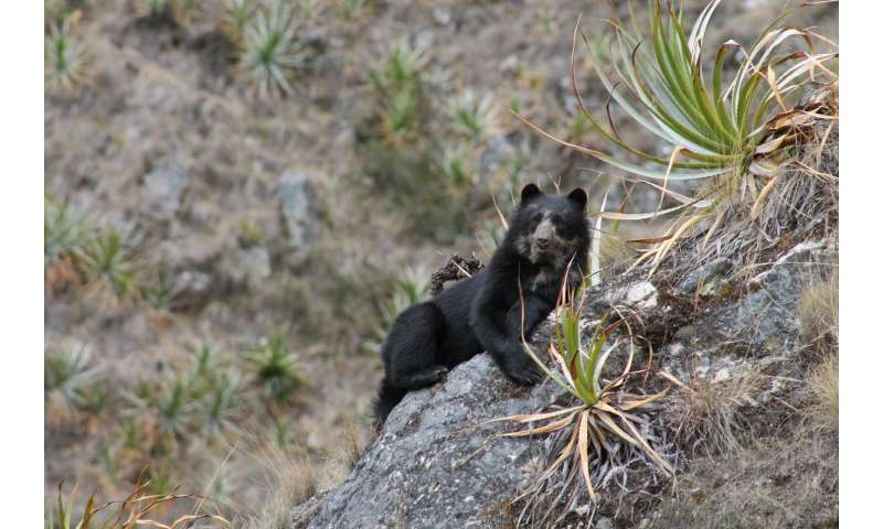 Andean bear survey in Peru Finds humans not the only visitors to Machu Picchu