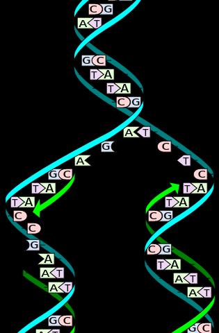 Ma 7. 2 dna replication lab answer key. Doc answer key dna.