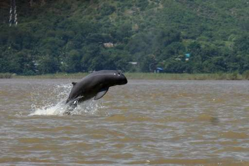An Irrawaddy river dolphin is seen jumping in the water near Mandalay, Myanmar