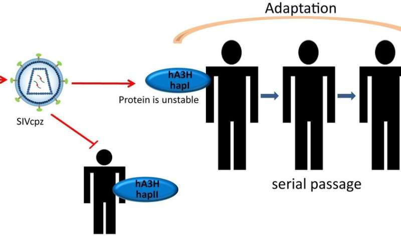 Anti-virus protein in humans may resist transmission of HIV-1 precursor from chimps