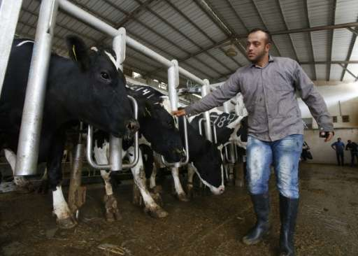 A Palestinian farmer tends to cows at the Jebrini dairy farm in the West Bank town of Hebron, where cow dung is used to produce