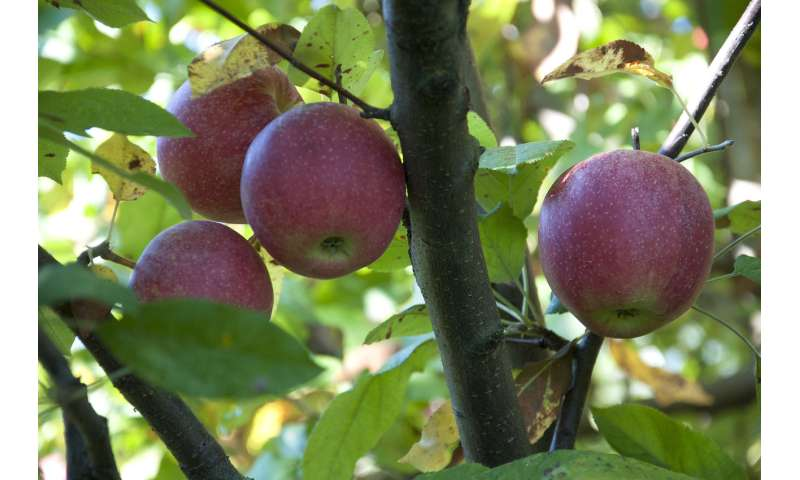 Do All Crabapple Trees Produce Fruit