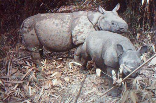 A rare image from 2012 shows a critically endangered Java rhino taking care of its calf at Indonesia's Ujung Kulon National Park