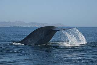 "Are blue whales finding new ""microphone channel"" to communicate in?"