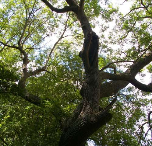Ash dieback—insect threat to fungus-resistant trees