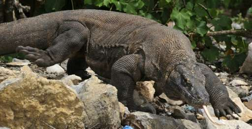 A Singaporean tourist who was trying to photograph a komodo dragon feasting on a goat has been attacked by one of the giant liza