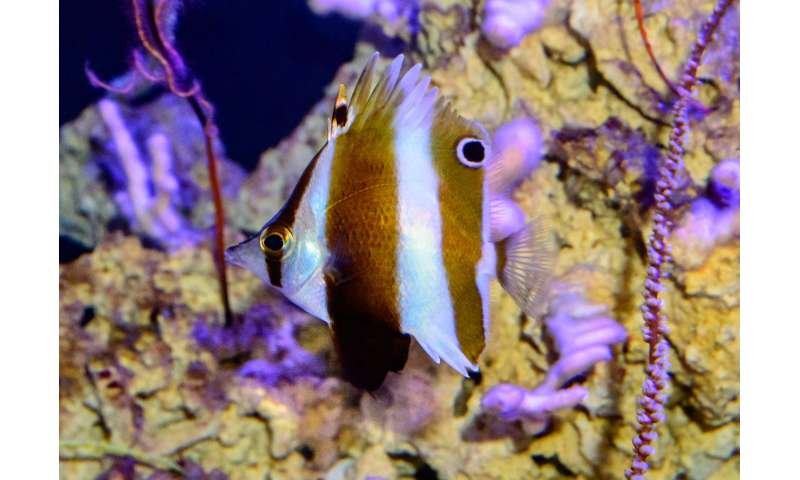 A surprise new butterflyfish is described from the for Twilight zone fish