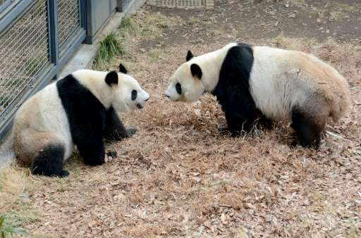 At a Tokyo zoo, female giant panda Shin Shin (L) and male giant panda Ri Ri (R) seemed to be in the mood for love, mating for th