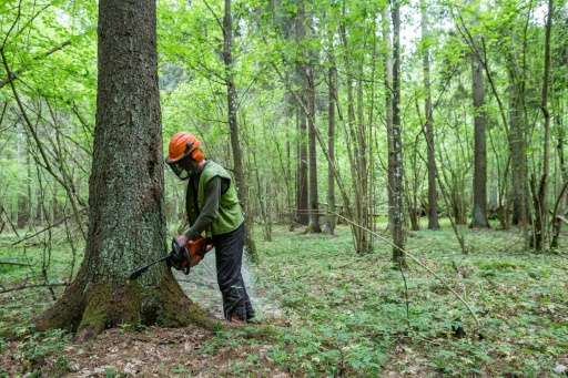 A worker cuts down a spruce tree in the Bialowieza forest