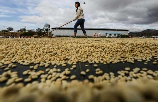 A worker dries coffee beans at Las Nubes processing plant in Waswali Community, in Matagalpa, some 130 km from Managua