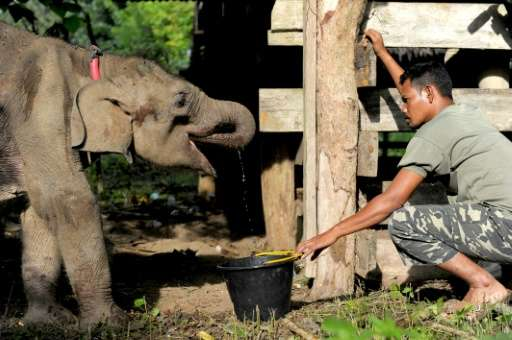 A worker gives water to a baby elephant rescued from the wild at the Elephant Conservation Center in Aceh on January 17, 2017