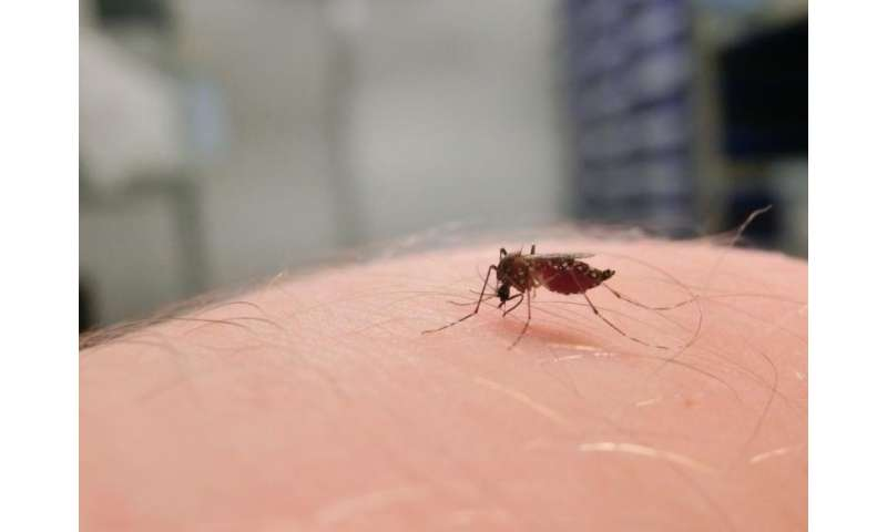 Bacteria deployed to destroy mosquito-borne dengue can't take the heat