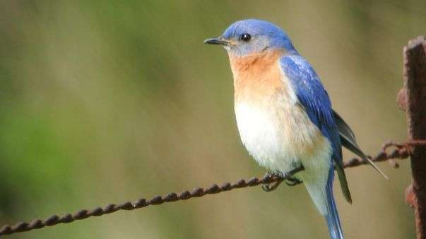 Bahamian songbirds disappeared during last glacial-interglacial transition