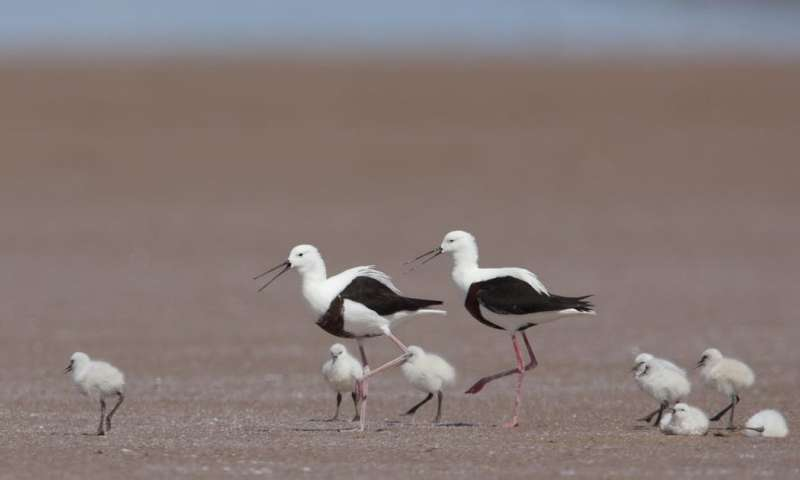 Banded stilts fly hundreds of kilometres to lay eggs that are over 50% of their body mass