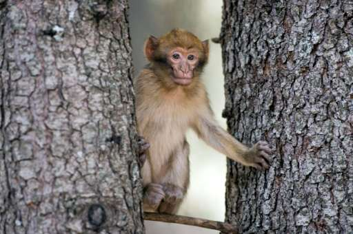 Barbary macaques are taken by poachers and often sold to buyers in Europe for between $110 and $330 (100 and 300 euros) despite