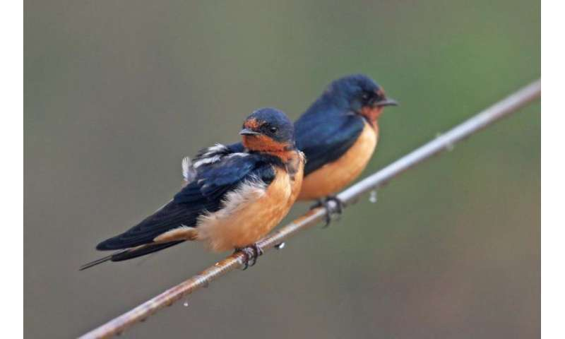 Barn swallow behavior shift may be evolutionary