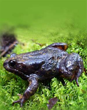 Baw Baw frog charms researchers in battle against extinction