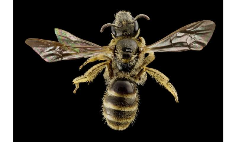 Bee Antennae Offer Links Between The Evolution Of Social