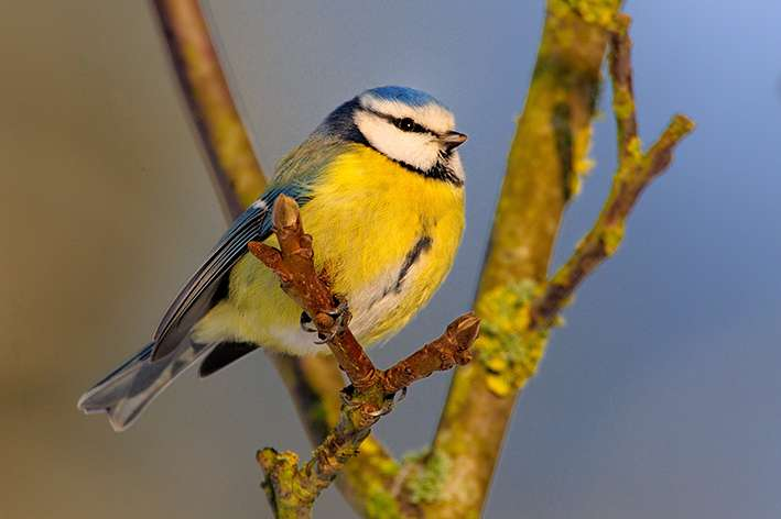 Begging blue tit nestlings discriminate between the odour of familiar and unfamiliar peers