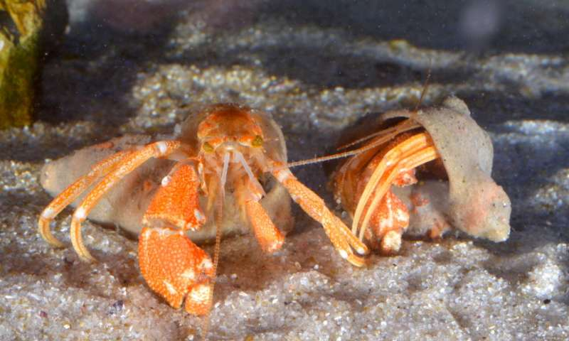 Behind Green Eyes: New Species of deep-water hermit crab finds itself unusual shelters