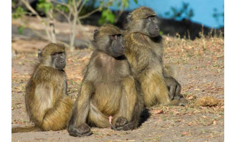 Bigger brains help social primates to make up after a fight, says Manchester study