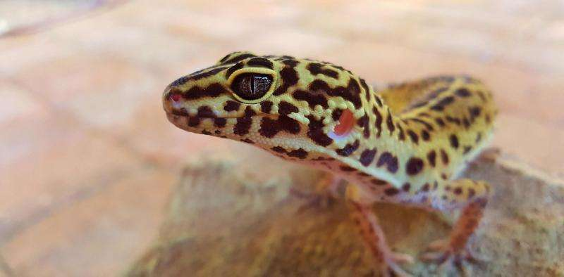 Big-headed gecko shows human actions are messing with evolution