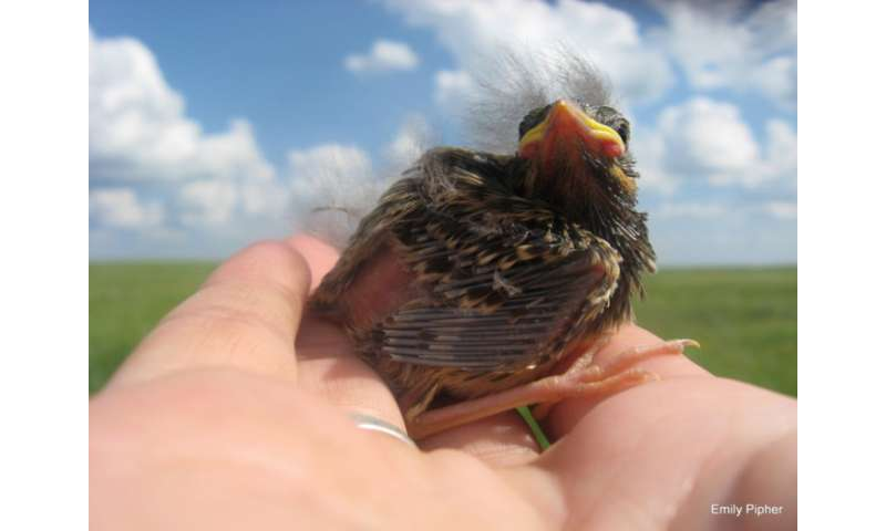 Birds in Alberta oil fields forced to raise imposters at alarming rate