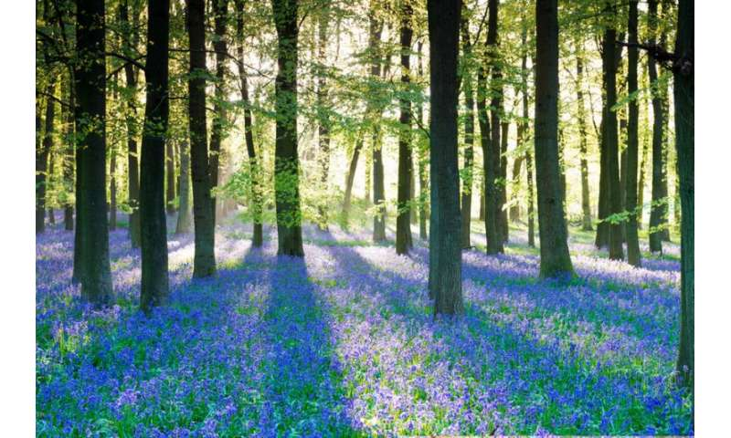 Bloomageddon—seven clever ways bluebells win the woodland turf war