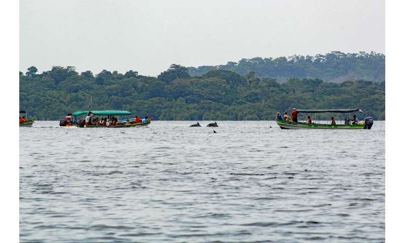Boat traffic threatens the survival of Panama's Bocas Del Toro dolphins