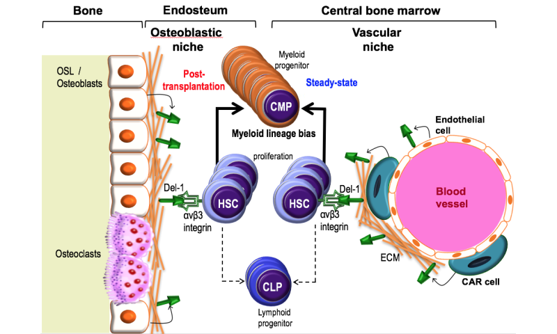 Bone marrow protein may be target for improving stem cell transplants