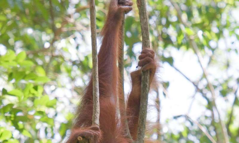 Bornean orangutans' canopy movements flag conservation targets