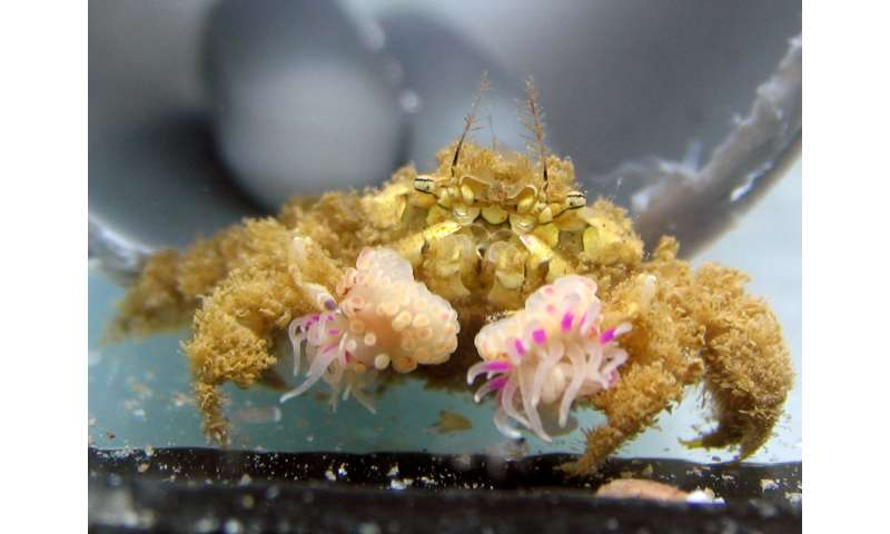 Boxer crabs acquire anemones by stealing from each other, and splitting them into clones