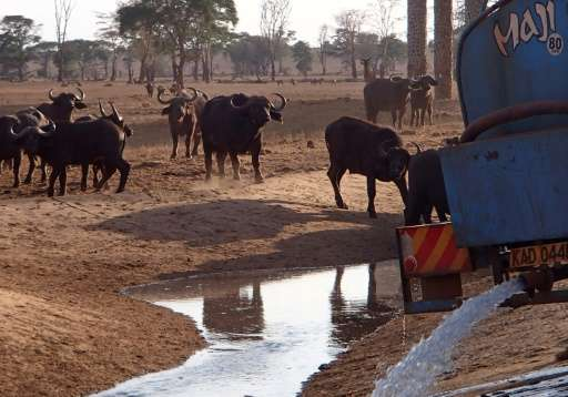 Buffalo approach after a tanker delivers water to a water hole at the Tsavo-west national park on October 19, 2016