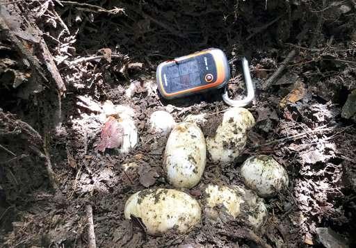 Cambodia conservationists find rare cache of crocodile eggs