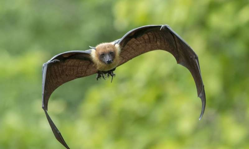 Can bats help humans survive the next pandemic?