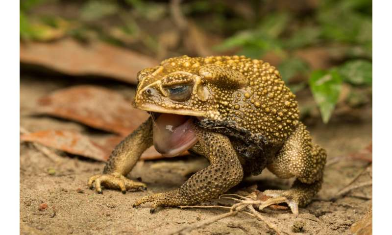 Cane toads have a salty secret to protect themselves when shedding skin