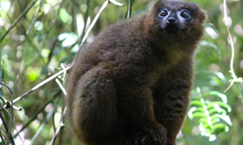 Can facial recognition systems help save lemurs?
