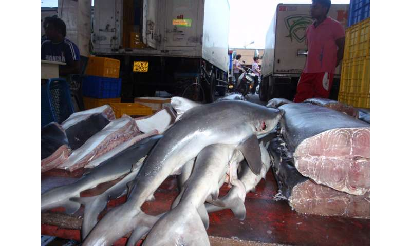 Can sharks be fished sustainably? Yes (but it's going to take work)
