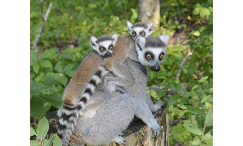 Captive lemurs get a genetic health checkup