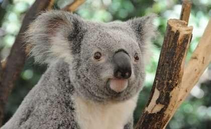 Cars and chlamydia killing Queensland koalas