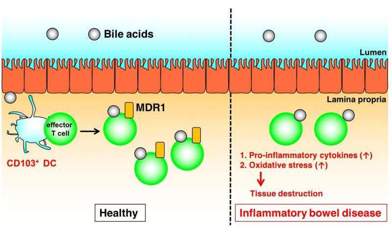 CD4 T cells, xenobiotic transporters, and metabolites in inflammatory bowel diseases