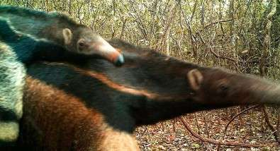 Census shows which mammals survive in forests surrounded by sugarcane plantations