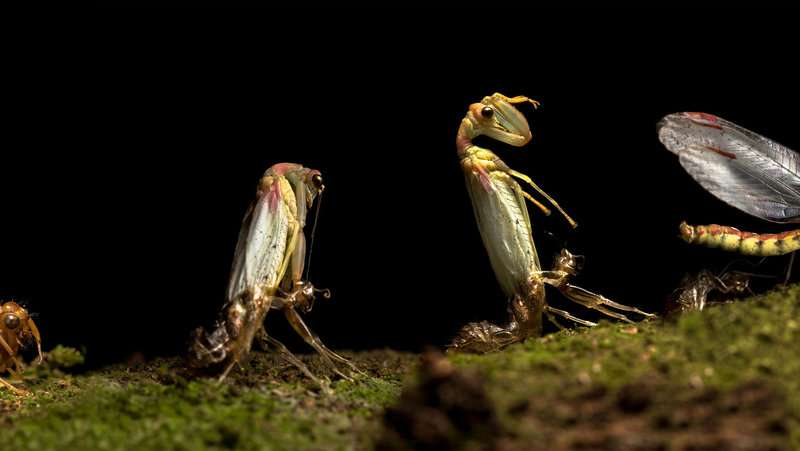 Chance record of an annual mass emergence of enigmatic mantis-flies