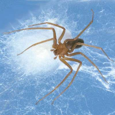 Children at greater risk for complications from brown recluse spider bites