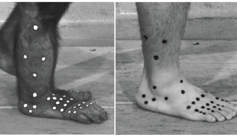 Chimpanzee feet allow scientists a new grasp on human foot evolution