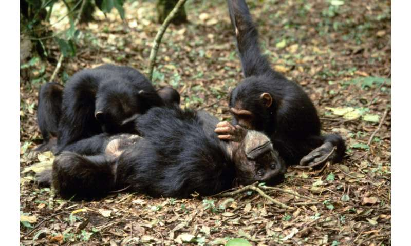 Chimpanzees modify grooming behavior when near higher ranking members